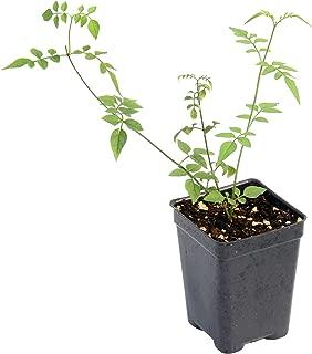 Hardy Jasmine (Jasminum officinale)