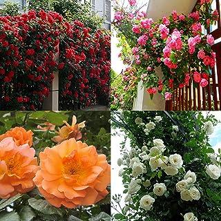 comprar comparacion Portal Cool Blanca: 100 piezas rosales trepadores Semillas plantas perennes fragante jardín de flores Multiflora