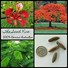 CROSO Germination Seeds ONLY NOT Plants: 10+ Royal Poinciana Seed Seeds (Delonix Regia) Bonsai Red Flowering