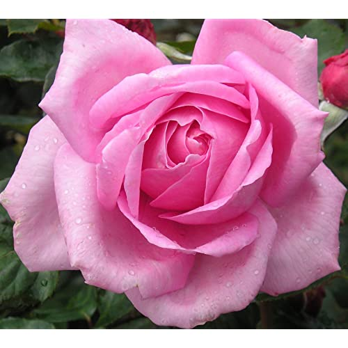 Fragrant Bush Roses: Amazon co uk