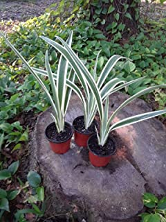 Variegated Flax Lily - Dianella 'Variegata' -1 Plant - 15
