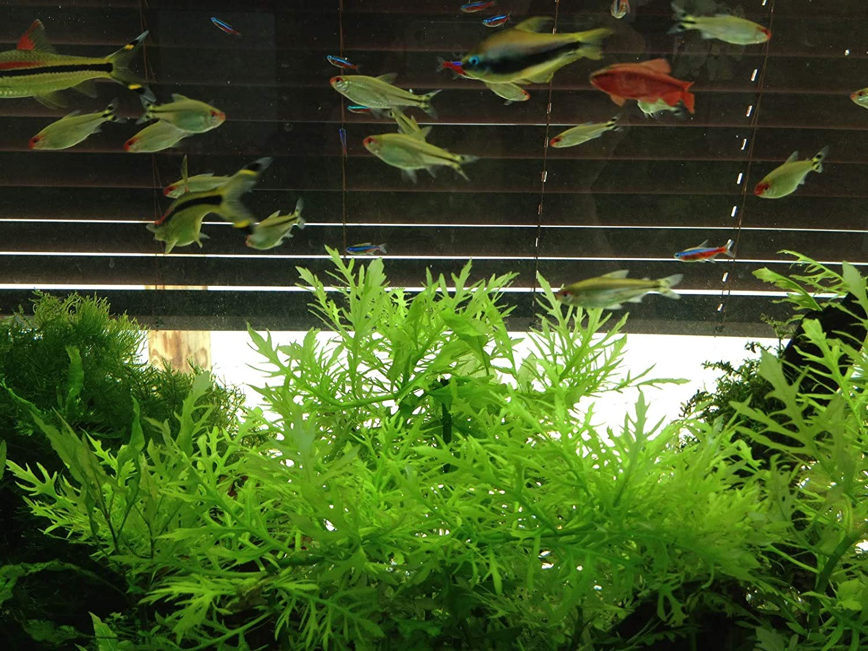 6 Water Wisteria Plants Easy Planted Aquarium aquascaping Al sold ...