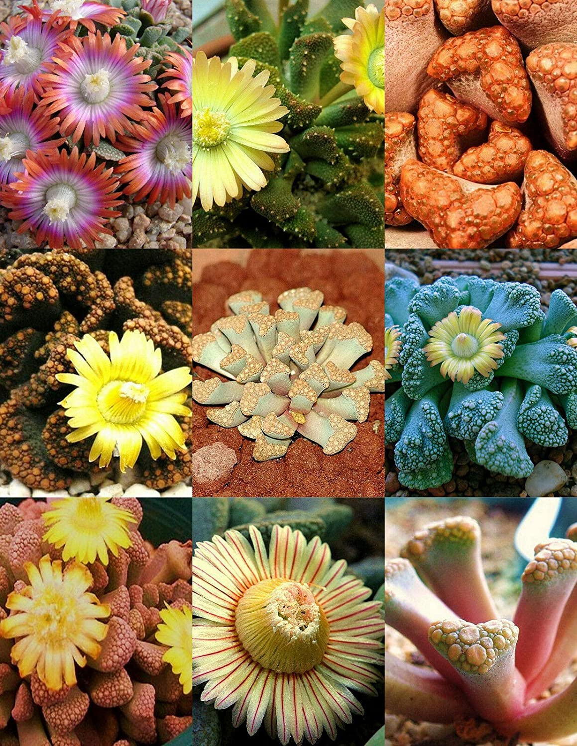 SEAL limited product TITANOPSIS Mix Succulent Cactus SALENEW very popular Mixed Plant Stones Living Rocks