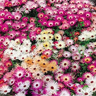 Fairy Flower Seeds x200 Mesembryanthemum Magic Carpet Mixed Seeds