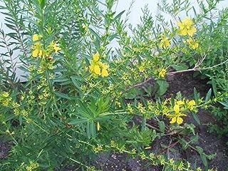 Sinicuichi, Heimia Salicifolia, Organic, 500 Seeds per Pack, GMO Free,