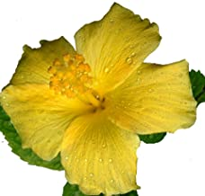 fort myers hibiscus