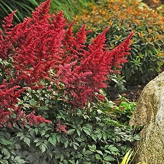 astilbe Fanal red arendsii False spirea Fragrant 2.5