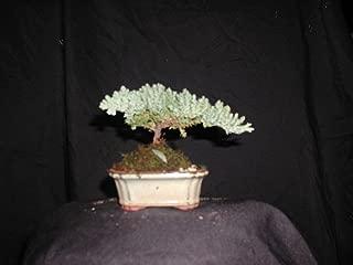 Joebonsai Nursery Direct Upright Juniper Bonsai Tree IV (b-jr4)