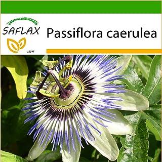 SAFLAX - Flor de la pasión - 25 semillas - Con sustrato estéril para cultivo - Passiflora caerulea