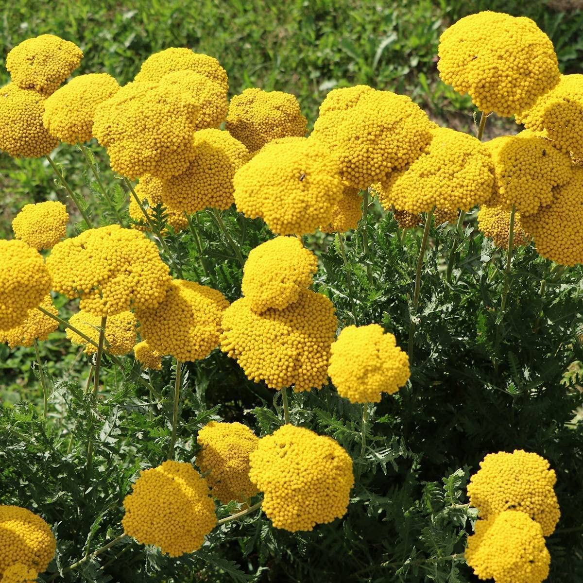 Achillea Long Beach Mall S.ẸẸDS for P.lạnting NEW before selling - 1 Oz Yarrow Golden