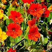 Nasturtium Flower Garden Seeds - Jewel Mix - 1 Lb - Annual Flower Gardening Seeds - Tropaeolum majus