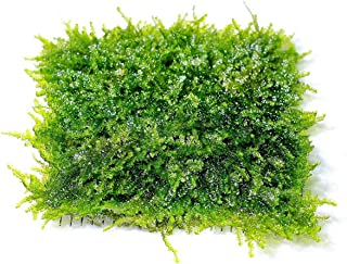 SoShrimp Mini Christmas Moss Mesh Pad - Vesicularia sp. Live Aquarium Plant