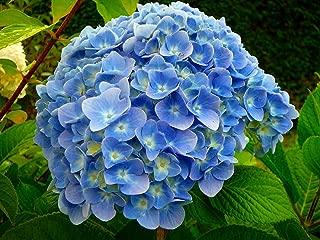 'Nikko Blue' Hydrangea macrophylla - Bigleaf - A 4