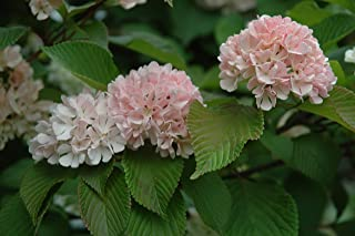 Viburnum plicatum f. plicatum 'Mary Milton'- Snowball Bush - Gallon Potted – 1 Plant by Growers Solution