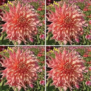 Burpee Penhill Watermelon' Dahlia Cut Flower   2 Packs  , 4 Tubers