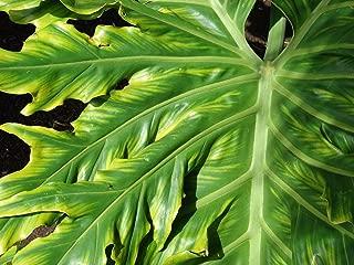 Best giant split leaf philodendron selloum Reviews