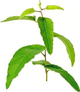 Lemon Eucalyptus Tree Corymbia Citriodora Live Plant