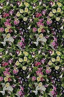 Torenia Kauai Mix Annual Flowers Seeds 1,000 Pcs an