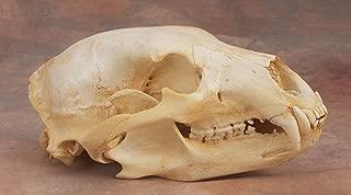 Black Bear Skull Replica