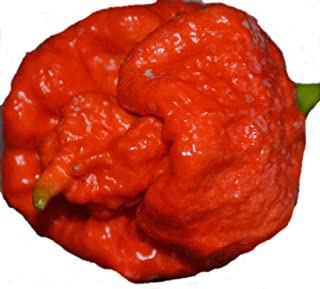 Trinidad Scorpion Butch T -40 Samen/rote Variante - eines der schärfsten Chilis