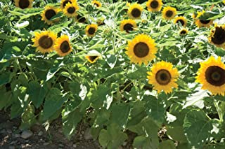David's Garden Seeds Sunflower Big Smile 1312 (Yellow) 25 Non-GMO, Open Pollinated Seeds