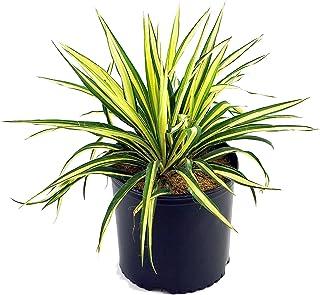 Yucca filamentosa 'Color Guard' (Yucca) Shrub, #2 - Size Container