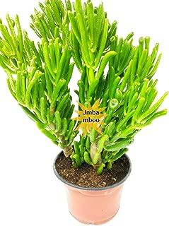 crassula hobbit jade plant