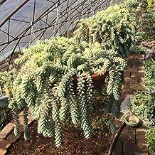 100Pcs Sedum Burrito Moran Seeds Garden Yard Succulent Plant Roof Balcony Decor - Sedum Burrito Moran Seeds