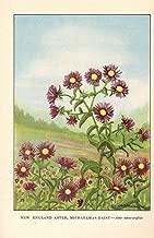 FLOWERS 1926 Vintage WILD NEW ENGLAND ASTER, MICHAELMAS DAISY GORGEOUS COLOR Art Print Lithograph