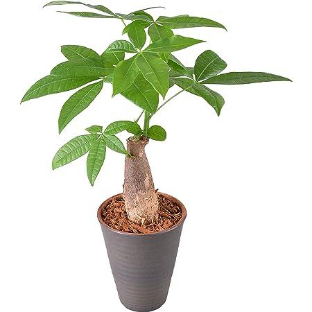 花のギフト社 パキラ 発財樹 4号 陶器 鉢植え 観葉植物 インテリア グリーン
