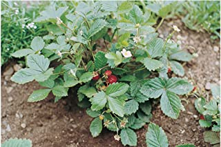 David's Garden Seeds Fruit Strawberry Alexandria SL6977 (Red) 200 Non-GMO, Heirloom Seeds