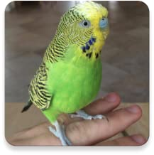 Budgie Sounds FREE