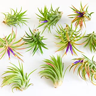 12 Pack Assorted Tillandsia Ionantha Rubra Air Plants - 30 Day Guarantee - Wholesale - Bulk - Fast Shipping - House Plants - Succulents - Free Air Plant Care Ebook by Jody James