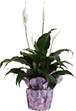 Best can you grow calla lilies from seed Reviews