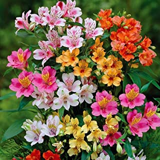 alstroemeria hybrids peruvian lily