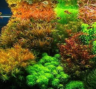 pellia aquarium plant