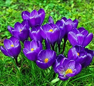 Remembrance Crocus 20 Bulbs - Very Hardy!
