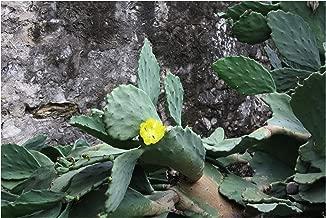 Opuntia matudae Xoconostle Prickly Pear Cactus 10 Seeds yellow flowers green - pink fruit drought tolerant ornamental cactus Succulent