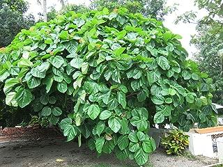 HOT - Ficus roxburghii Roxburgh FIG - Bold Hardy Fig Species! Seeds