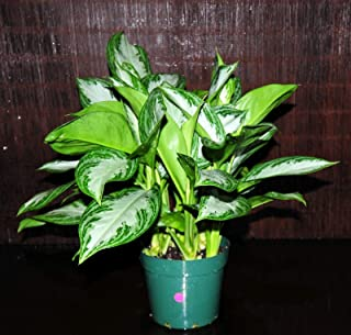 Aglaonema Silver Bay Very Large Plant in 8