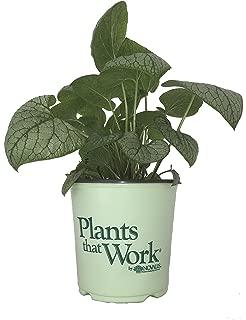 Premier Plant Solutions 20058 Silver Heart Brunnera 1 Gallon