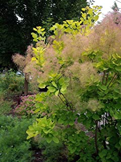 Best golden spirit smoke bush Reviews