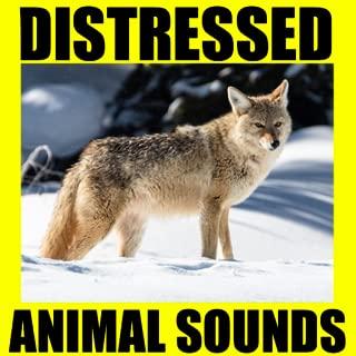 Distressed Animal Sounds - Hunting calls - Hunting call