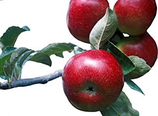 Empire Apple Tree - Healthy - Established - One Gallon Pot - 1 Each by Growers Solution