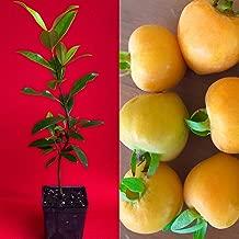 Eugenia Luschnathiana PITOMBA Potted PLANT Fruit Starter Pot Tree 6