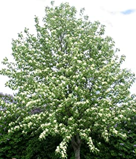 Best ornamental rowan tree Reviews
