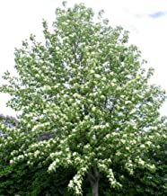 30 European Mountain ash seeds Sorbus aucuparia,Rowan Ornamental Tree CombSH