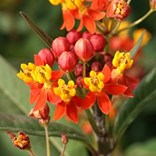 Outsidepride Mexican Butterfly Weed Plant Flower Seeds - 5000 Seeds