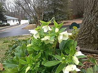 10 Lenten Rose Mixed Perennial, Shade, Drought Resistant, Ornamental HELLEBORUS