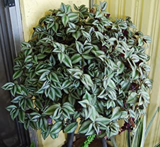 Violet Hill Tradescantia Zebrina Trailing Wandering Jew Houseplant Ground Cover (2 Clippings)